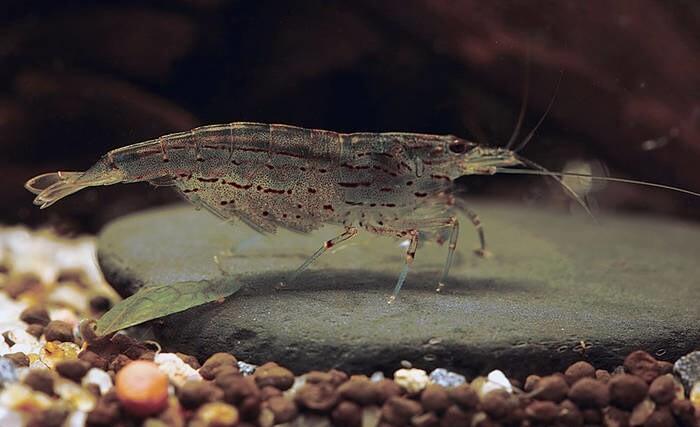 LOGO_Caridina multidentata (Amano shrimp)