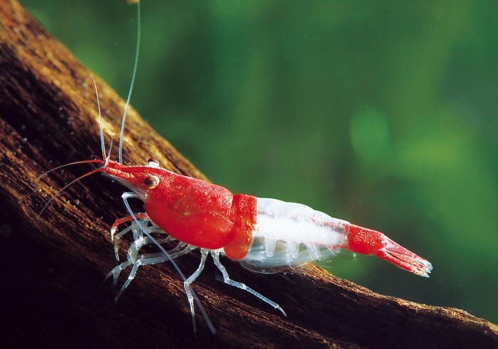 LOGO_Neocaridina davidi var. (Red rili shrimp)