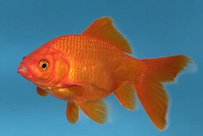 LOGO_Gold Fish