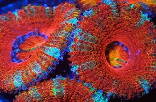 LOGO_corals