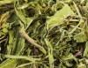 LOGO_Dandelion Leaves