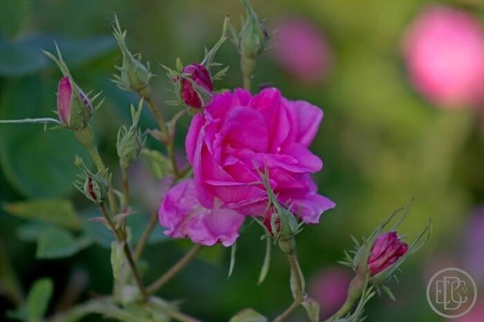LOGO_Organic Rose Damascena oil