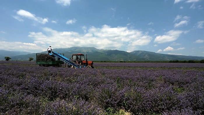 LOGO_Organic Lavender water