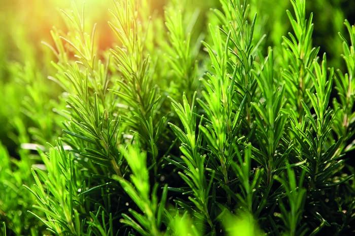 LOGO_Rosemary  Spain Organic E.O.