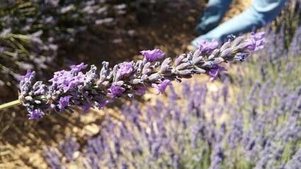 LOGO_Spike Lavender Organic E.O.