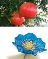 LOGO_Pomegranate Oil and Blue Poppy Oil